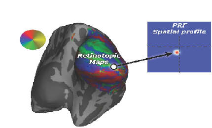 The Visual System: Retinotopic Maps and Population Receptive Fields